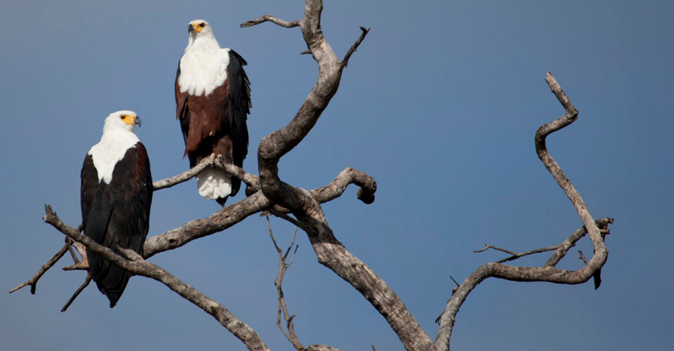 African fish eagle, Lake Kariba, Zimbabwe