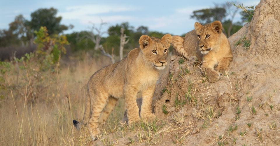African lion, Hwange National Park, Zimbabwe