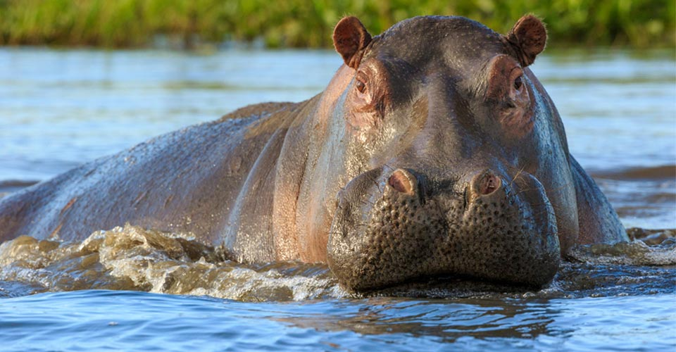 Hippopotamus, Lake Kariba, Zimbabwe
