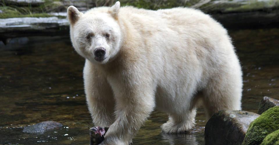 золотом белый медведь альбинос фото успел принять