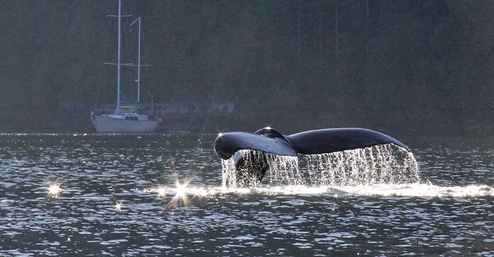 Humpback Whale and Island Roamer, Bishop Bay, Canada
