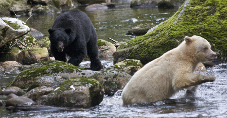 Black bear and Kermode (Spirit) bear, Gribbell Island, British Columbia, Canada