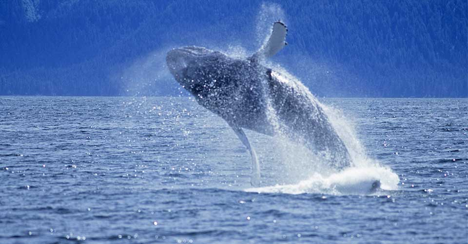 Humpback whale, Inside Passage, British Columbia, Canada
