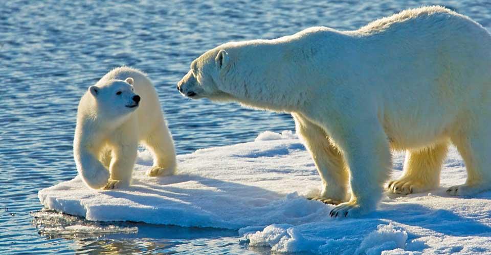 Polar bears, Spitsbergen