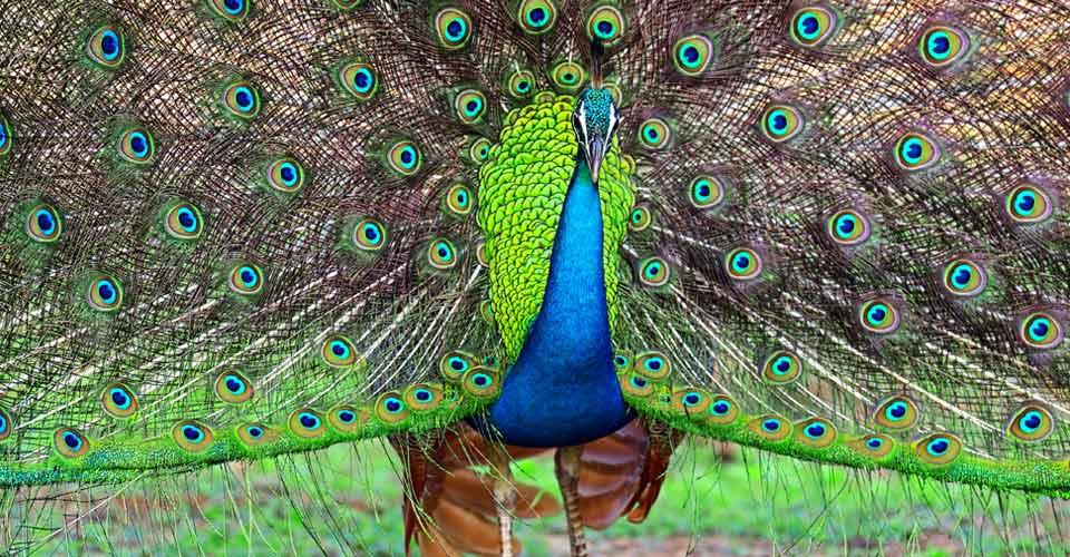 Indian peafowl, Yala National Park, Sri Lanka