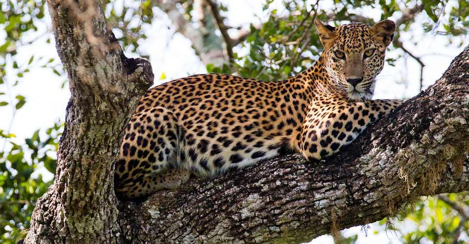 Sri Lankan leopard, Yala National Park, Sri Lanka