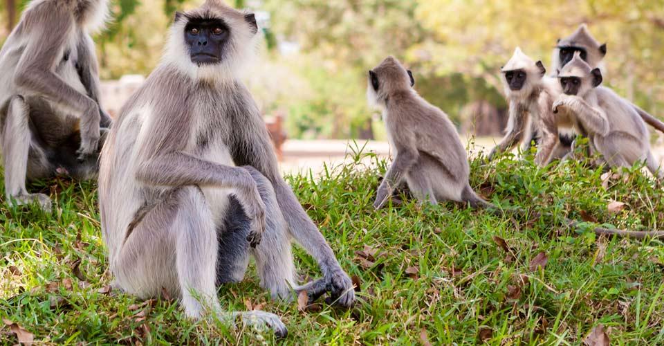Sr Lankan Grey Langur, Polonnaruwa, Sri Lanka