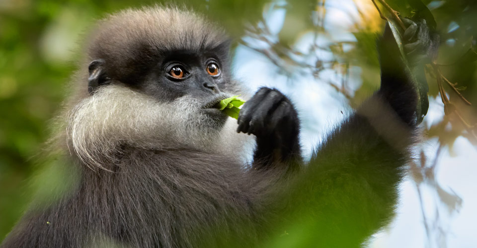 Purple-faced leaf monkey, Polonnaruwa, Sri Lanka