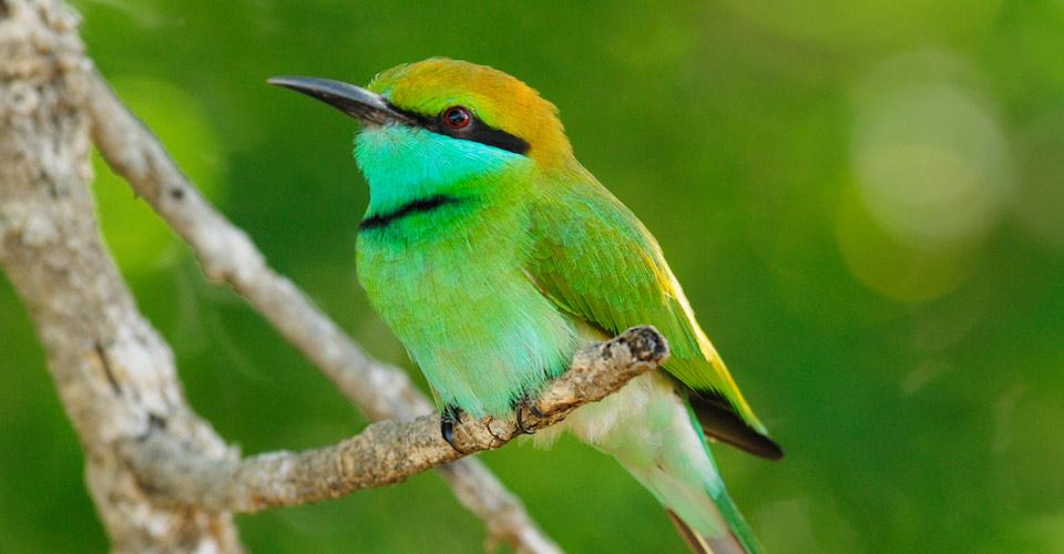 Green bee-eater, Hurulu Forest Reserve, Sri Lanka