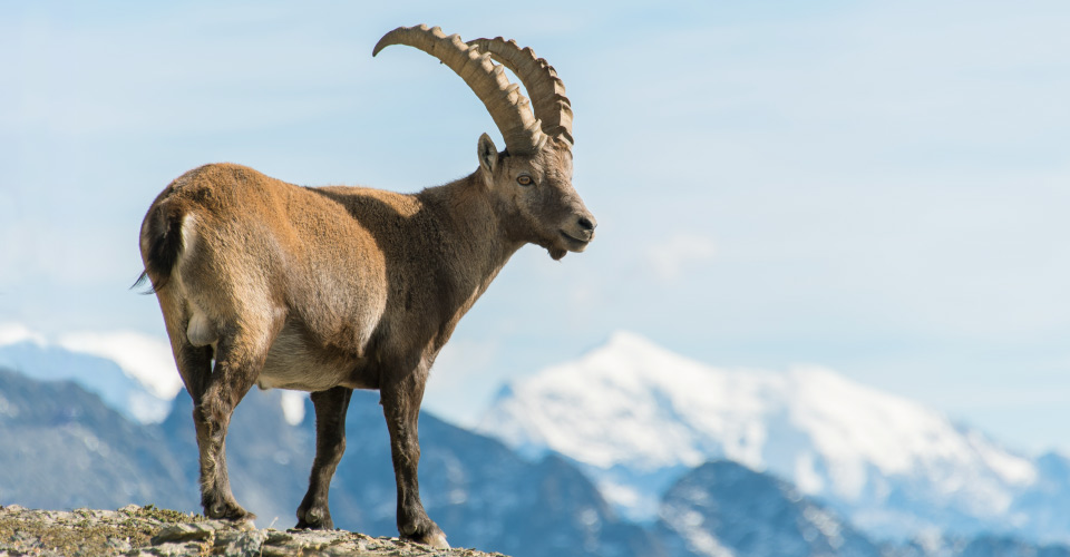 Ibex, Swiss National Park, Switzerland