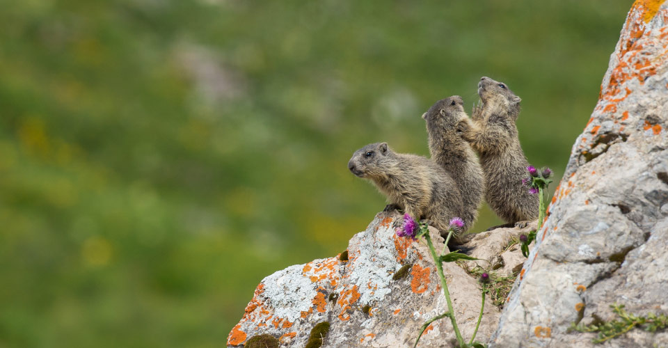 Marmots, Swiss National Park, Switzerland