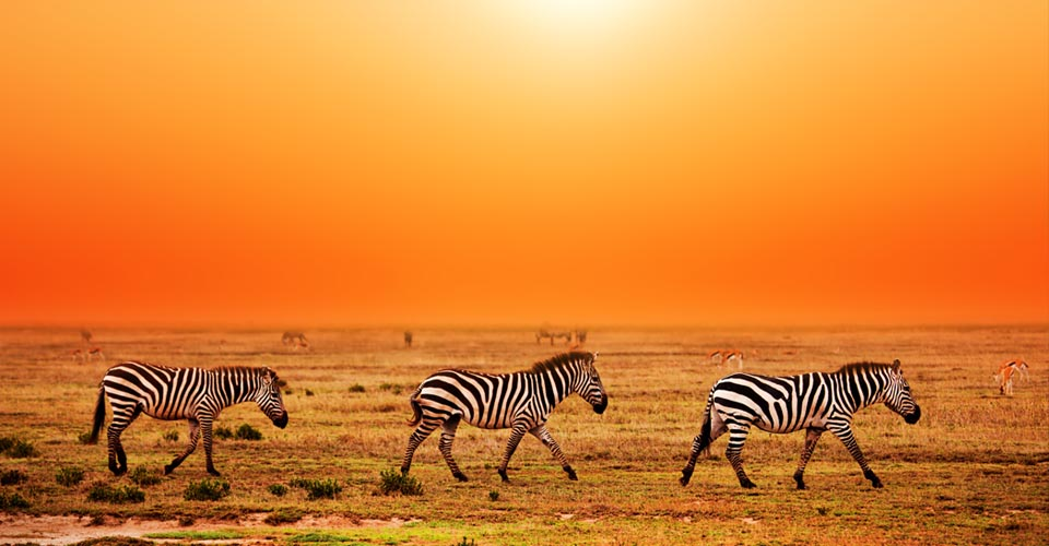 Burchell's zebra, Serengeti National Park, Tanzania