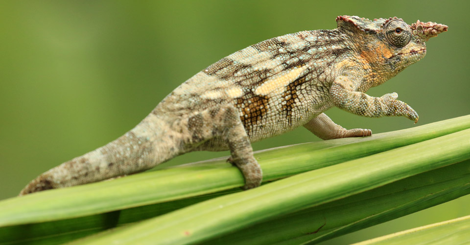 Kilimanjaro two-horned chameleon, Serengeti National Park, Tanzania