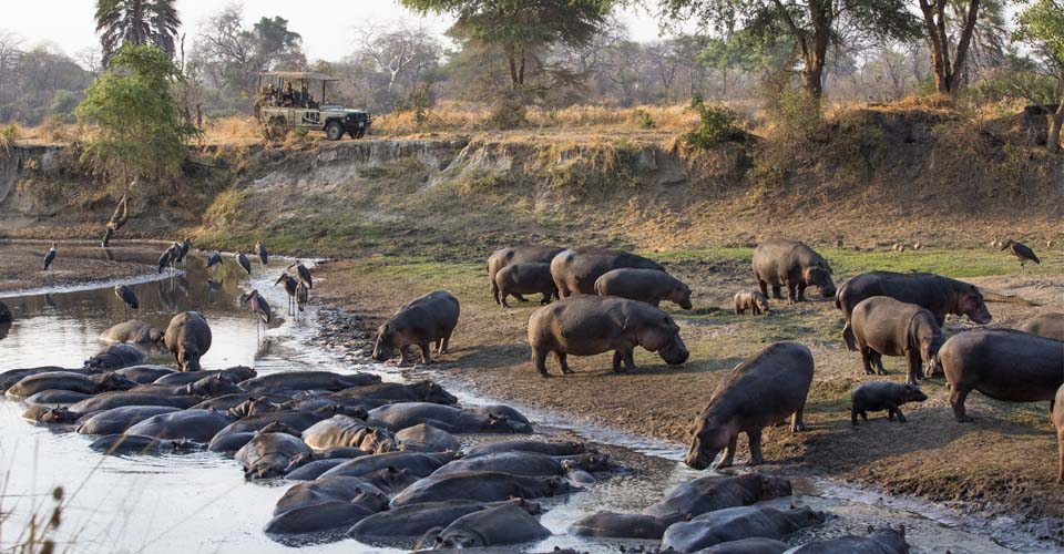Hippos and maribou storks, Serengeti National Park, Tanzania