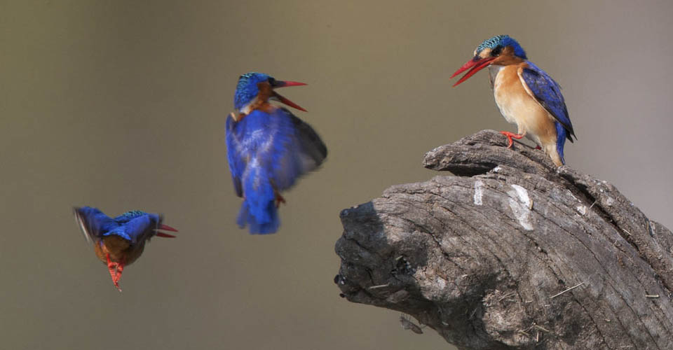 Malachite kingfishers, Serengeti National Park, Tanzania
