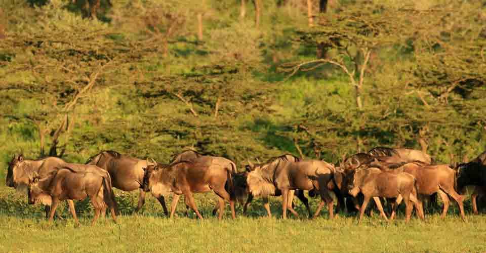 Wildebeest, Serengeti National Park, Tanzania