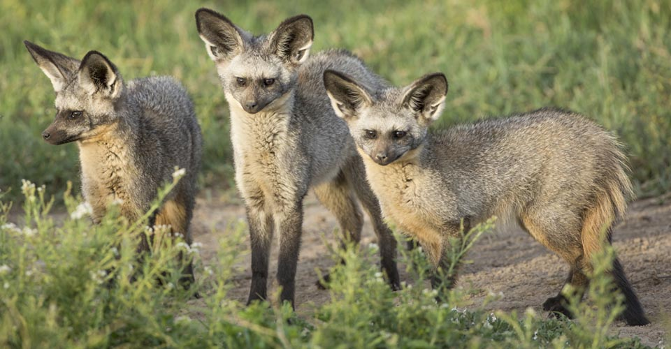 Bat-eared fox, Serengeti National Park, Tanzania