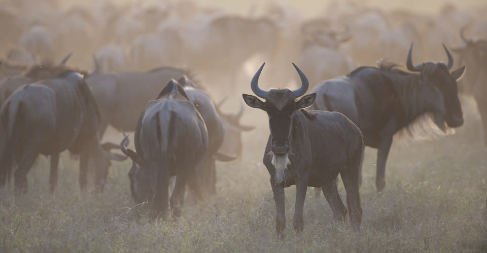 Wildebeest, Serengeti National Park, Tanzania