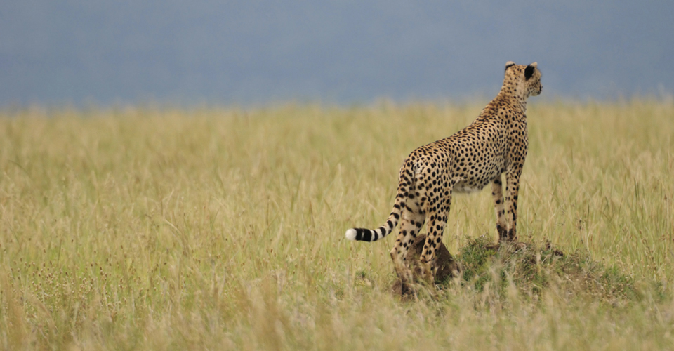 Cheetah, Namiri Plains, Serengeti National Park, Tanzania
