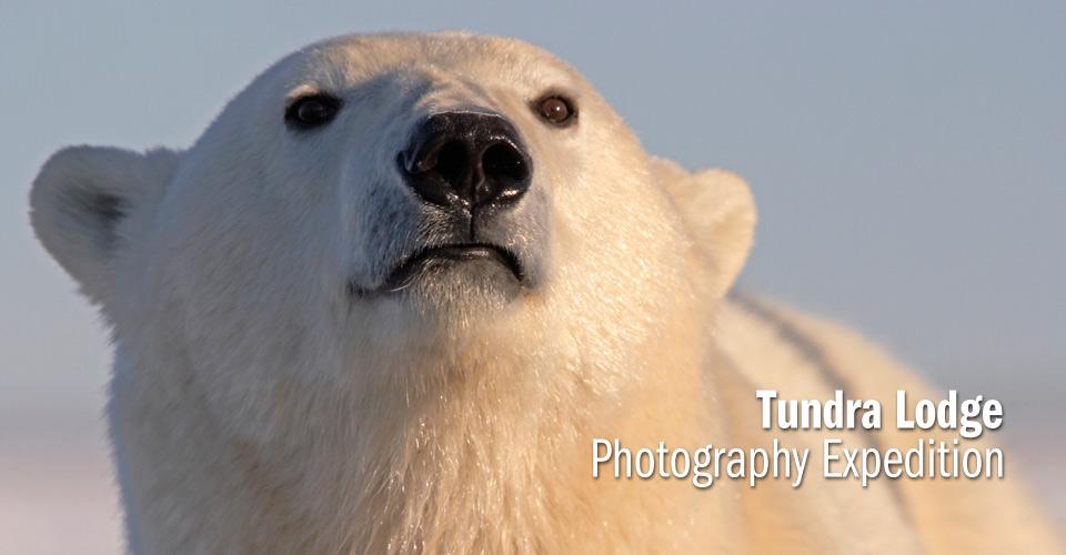 polar bears in the tundra