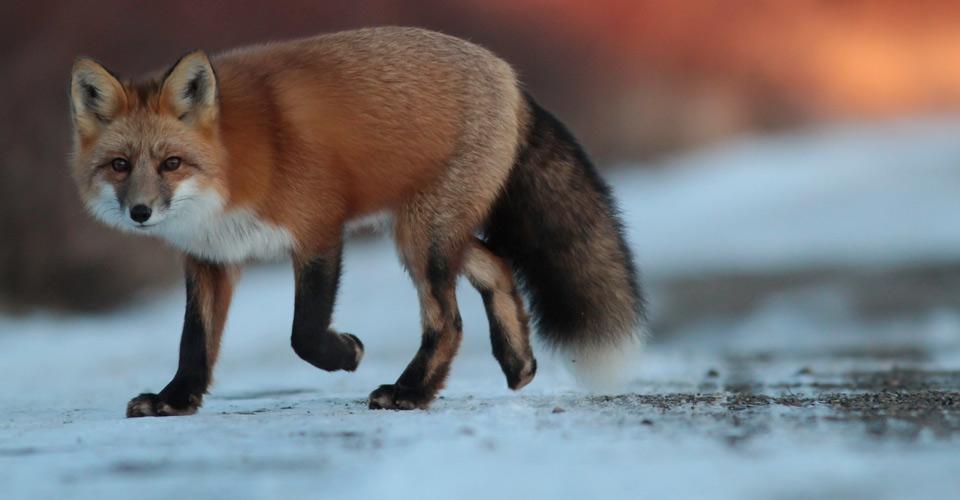 Red fox, Churchill, Manitoba, Canada