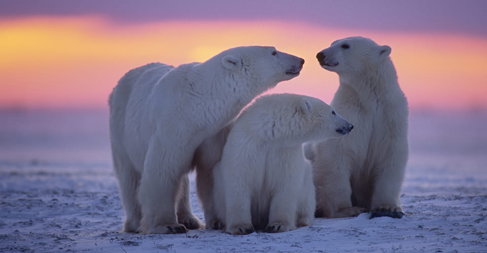 Arctic Tundra Polar Bears Polar Bear Photo Tours Photo Expeditions