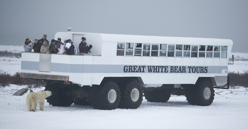 Polar bear and Polar Rover, Churchill, Manitoba, Canada