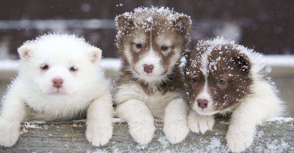 Sled dog puppies, Churchill, Manitoba, Canada
