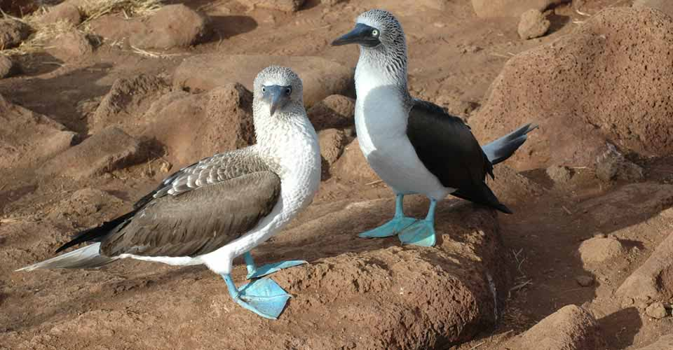 Blue-footed boobies, North Seymour, Galapagos Islands, Ecuador