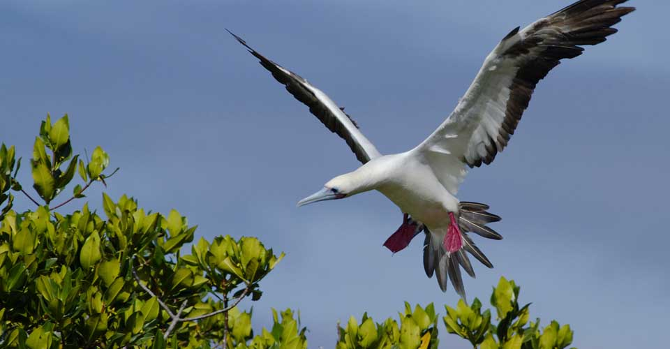 Red-footed booby, Genovesa, Galapagos Islands, Ecuador