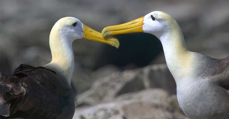 Waved albatross, Espanola, Galapagos Islands, Ecuador