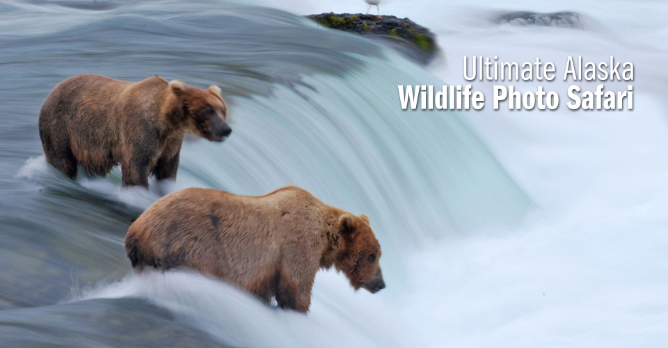 Brown bears at Brooks Falls, Katmai National Park, Alaska, USA