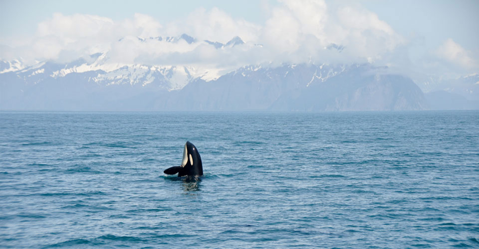 Orca, Kenai Fjords National Park, Alaska, USA