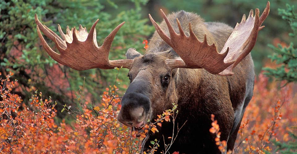 Alaska moose, Denali National Park, Alaska, USA
