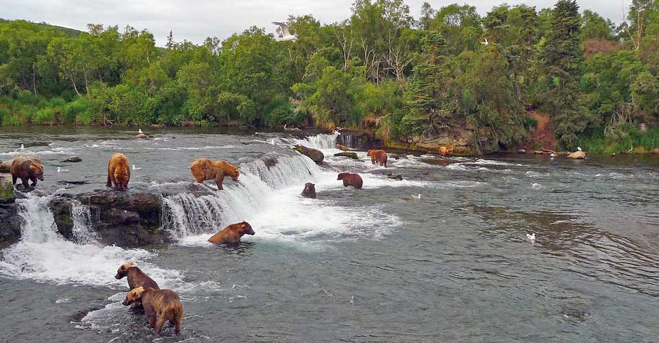 Brown bears, Brooks Falls, Alaska, USA