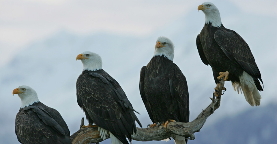 Bald eagles, Kenai Peninsula, Alaska