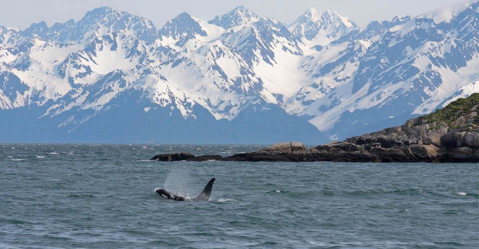 Orca whale, Kenai Fjords National Park, Alaska
