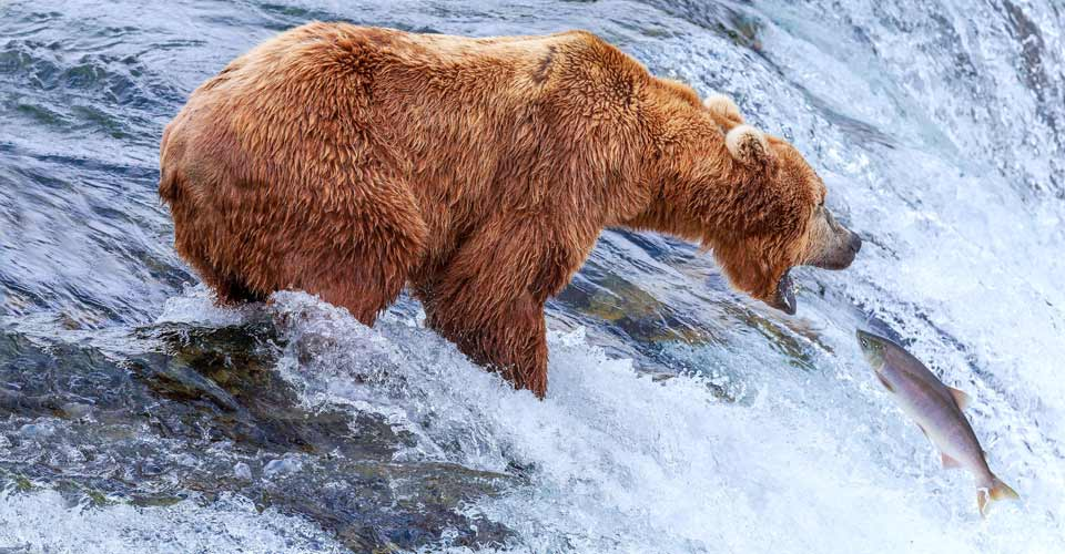 Brown bear at Brooks Falls, Katmai National Park, Alaska, USA