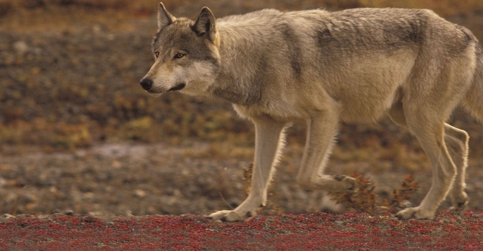 Gray wolf, Denali National Park, Alaska, USA