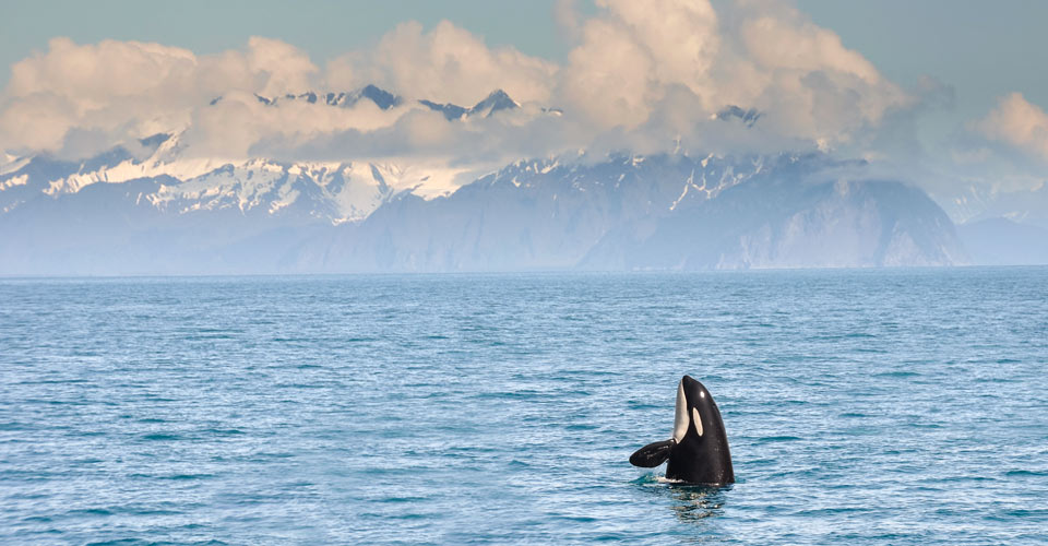 Orca, Resurrection Bay, Kenai Peninsula, Alaska