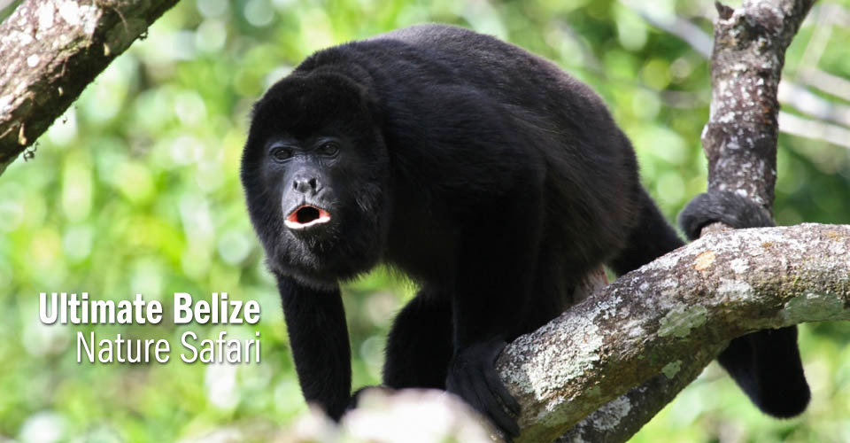 Howler monkey, Belize