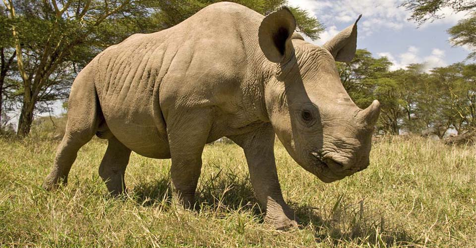White rhino, Ol Pejeta Private Conservancy, Kenya
