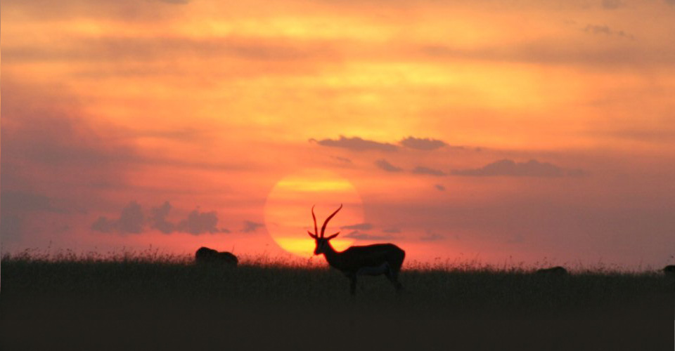 Grant's gazelle at sunset, Serengeti National Reserve, Kenya