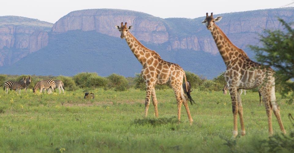 Giraffe and zebra, Serengeti, Tanzania