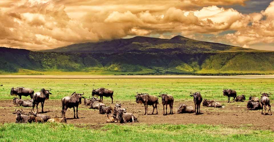 Wildebeest, Ngorongoro Crater, Tanzania