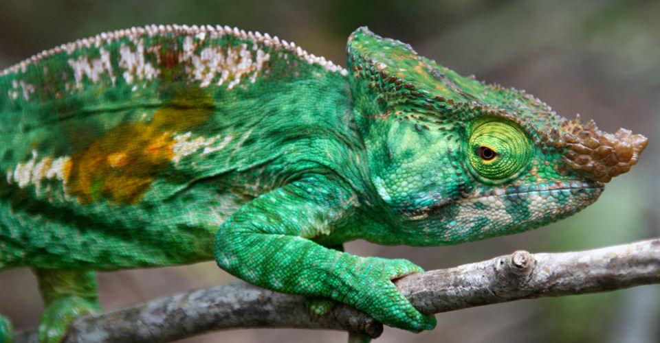Parson's chameleon, Perinet, Madagascar