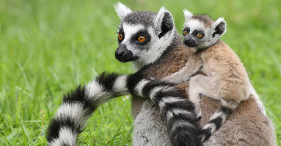 Ring-tailed lemur, Isalo, Madagascar