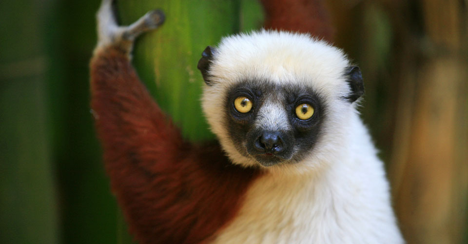 Coquerel's sifaka, Anjajavy Forest Reserve, Madagascar