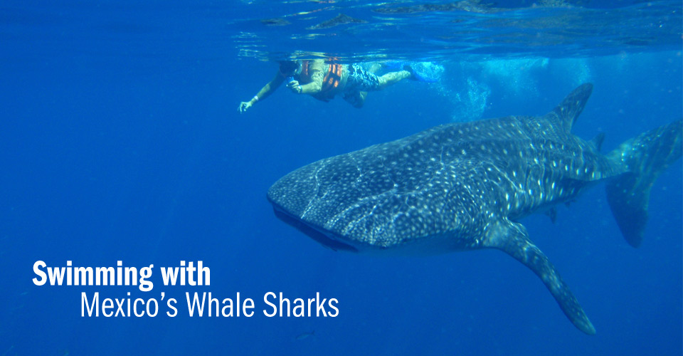 Swimming with whale sharks, Isla Holbox, Mexico