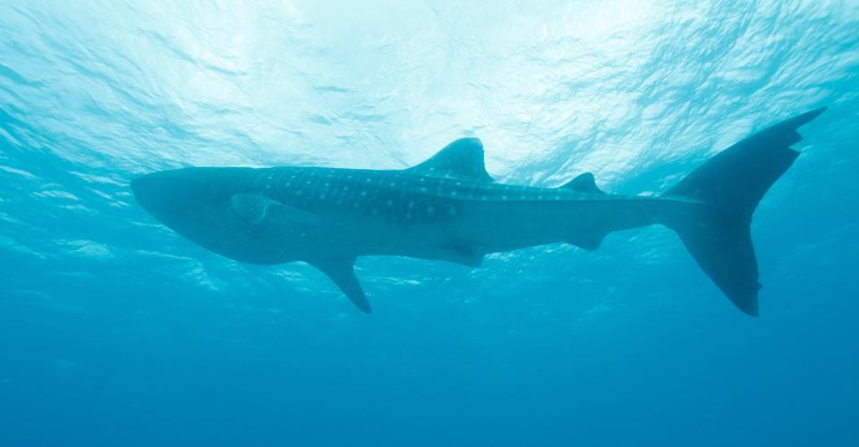 Whale shark, Isla Holbox, Mexico
